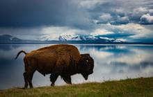 Bison At Lake