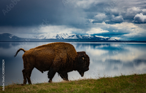 Bison at lake