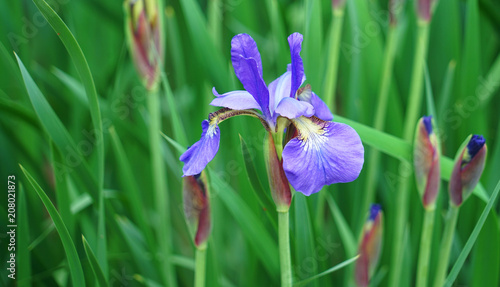 close up on fresh iris flower blooming in spring