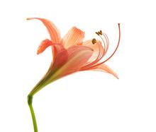 Hippeastrum Or Amaryllis Flower , Orange Amaryllis Flower Isolated On White Background, With Clipping Path
