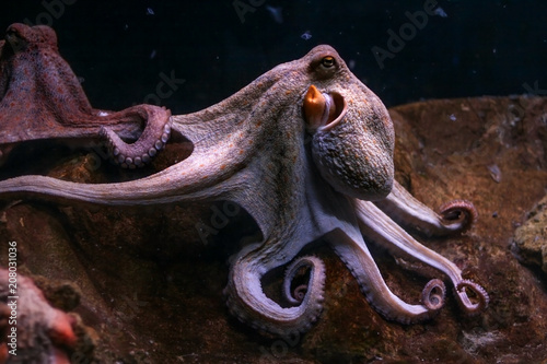 Purple common octopus, tentacles rolled with other one in background Fototapet