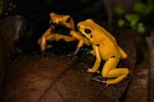 Golden Poison Frog On The Ground In The Rainforest