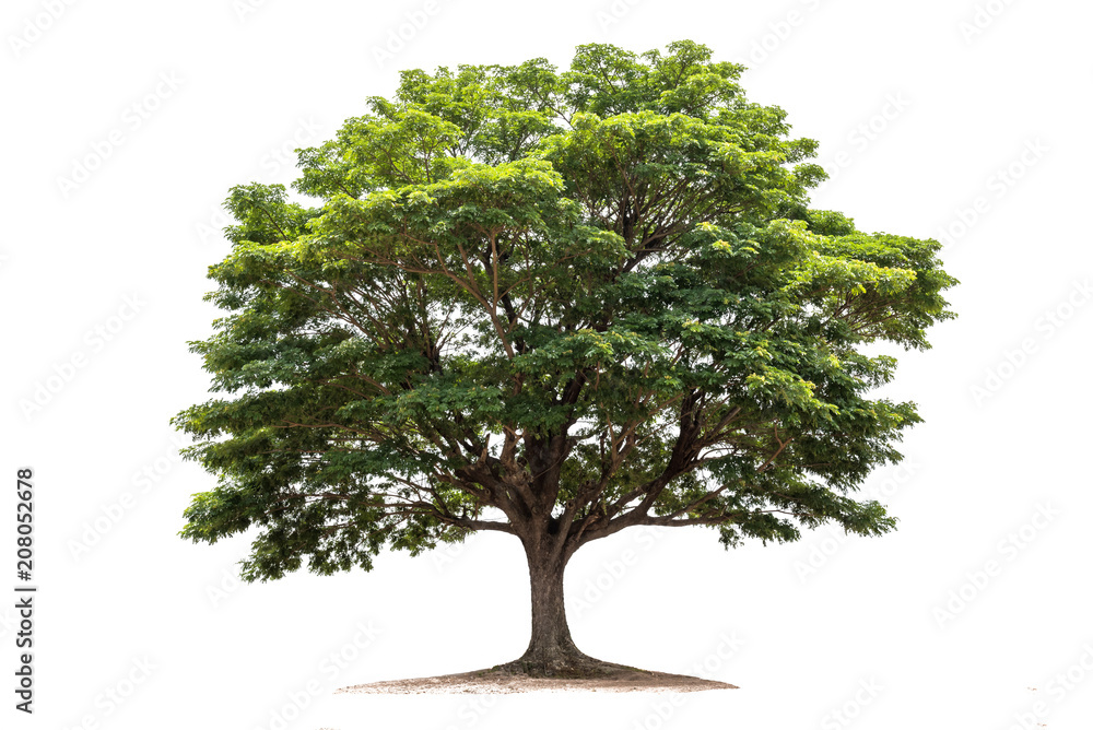 Fototapety, obrazy: Rain tree isolated on white background.Tropical tree