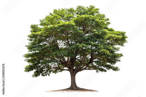 Rain tree isolated on white background.Tropical tree