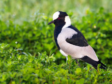 Blacksmith Plover / Lapwing