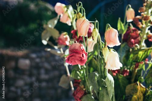 Valokuva  a faded roses