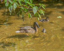 Mother Duck With Two Ducklings...