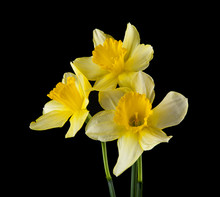 Yellow Daffodil Flowers Isolated On A Black Background