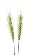 Green Spikelets Of Wheat Isolated On White Background