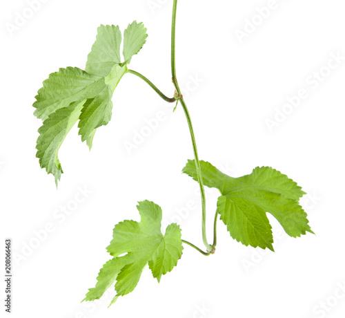 Fotografie, Obraz  green ivy leaves isolated on white background