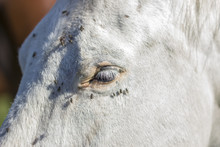 Flies Are Sitting On The Eye Of A White Horse