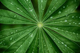 Large, green leaves of lupine (Lupinus polyphyllus) covered with drops of dew