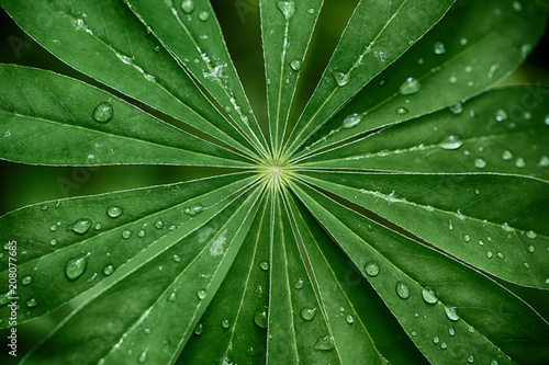 Fotografia Large, green leaves of lupine (Lupinus polyphyllus) covered with drops of dew