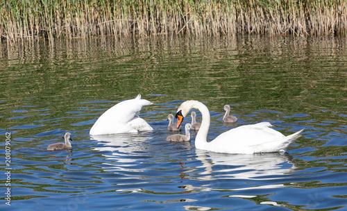 In de dag Zwaan Swan family with cygnets