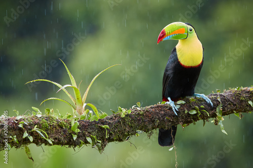 Photo  Famous tropical bird with enormous beak,Keel-billed toucan, Ramphastos sulfuratus, perched on a mossy branch in rain against rainforest background