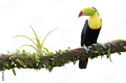 Poster Toucan Isolated on white background, famous tropical bird with enormous beak, Keel-billed toucan, Ramphastos sulfuratus, perched on a mossy branch. Costa Rican black-yellow toucan, wild animal. Costa Rica.