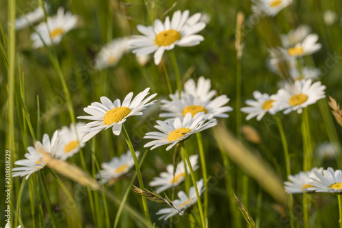 Foto op Canvas Madeliefjes Copres growing on a meadow.