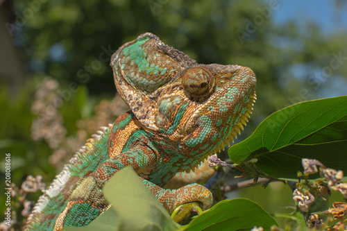 Staande foto Kameleon Green chameleon camouflaged by taking colors of its nature