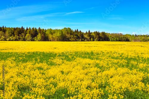 Fotobehang Platteland Blooming field of yellow rapeseed.