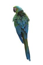Buffon's Macaw Or Great Green ...