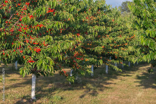 red-sweet-cherry-trees-with-ripening-cherries-in-orchard-on-sunset-agricultural-concept