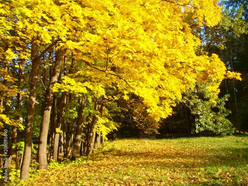 Spoed Foto op Canvas Herfst Beautiful autumn maple trees