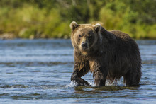 Grizzly Bear (brown) Bear (Urs...