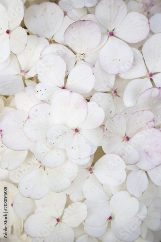 Papiers peints Fleur White flower background close up. Romantic and love pattern. Hydrangea flower