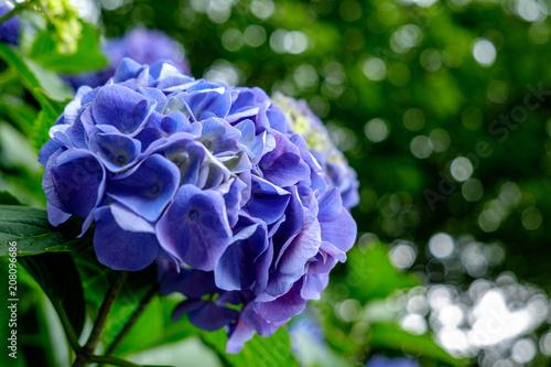 Foto op Aluminium Hydrangea あでやかなる紫陽花