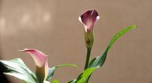 Beautiful Flower Calla