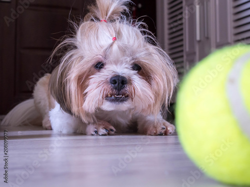 Photo  Small Cute Dog Stand with Floor Waiting to Play Ball