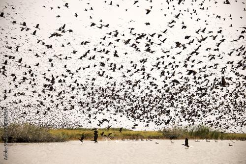 Dendrocygne veuf,.Dendrocygna viduata, White faced Whistling Duck, Parc national des oiseaux du Djoudj, Sénégal