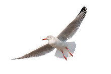 Seagull Flying Isolated On Whi...