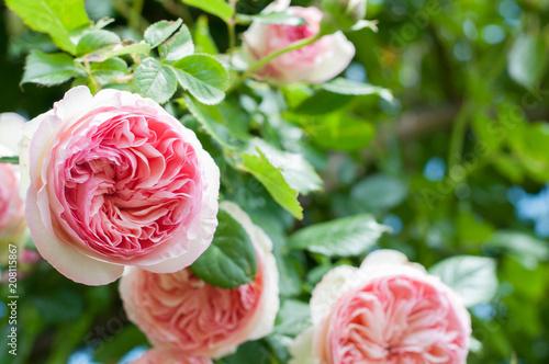 Fototapeta rosa rampicante pierre de rosard di meilland un piena fioritura obraz