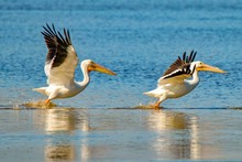 Two American White Pelicans Ta...