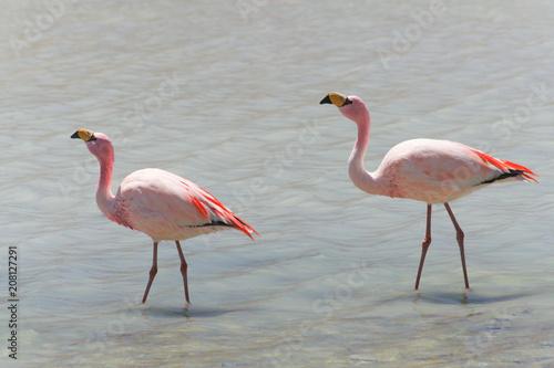 Garden Poster Flamingo flamingos in a lagoon on the salar de Uyuni plateau in Bolivia.