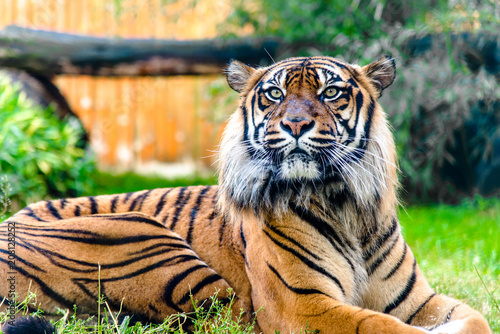 Stampa su Tela Bengal tiger in zoo. Animals in captivity.
