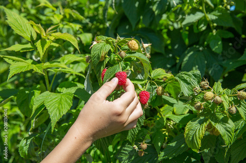 Fotografering  picking raspberries on the farm. child's hand holding a raspberry