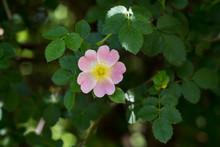 Close Up Of A Dog Rose, Rosa C...