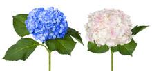 Nice White And Blue Hydrangeas
