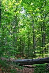 FototapetaPowalony pień drzewa na leśnej ścieżce