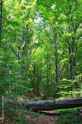 Obraz Powalony pień drzewa na leśnej ścieżce - fototapety do salonu