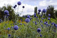 """Globe Thistle Flowers """"Echinop..."""