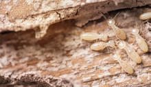 Close Up Shot, Macro White Ant...