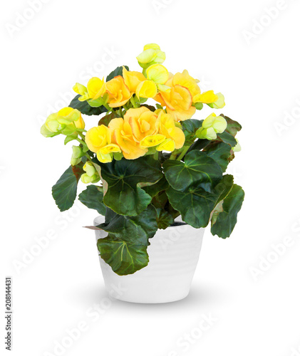 Houseplant - flowering Begonia a potted plant isolated over white
