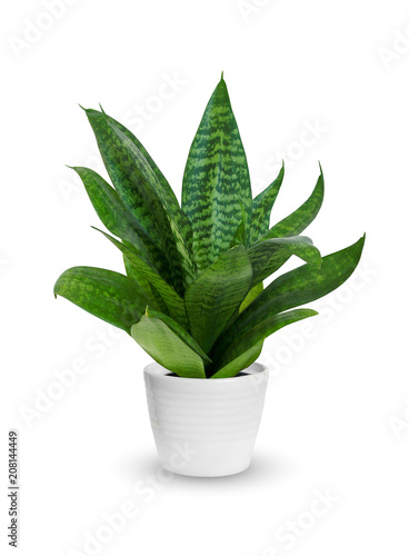 Cadres-photo bureau Vegetal Houseplant - young Sansevieria a potted plant isolated over white