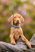 A Golden-rust Colored Hungarian Vizsla Puppy