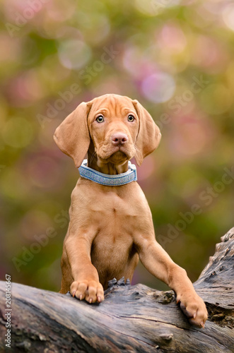 Foto A golden-rust colored Hungarian Vizsla puppy