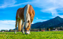 Healthy Horse In Pasture
