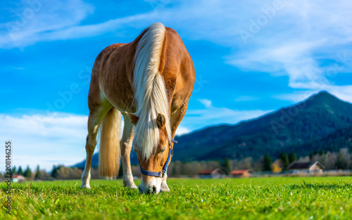 Canvas Print Healthy Horse In Pasture